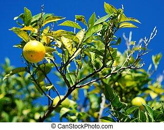 Limón con muchos limones