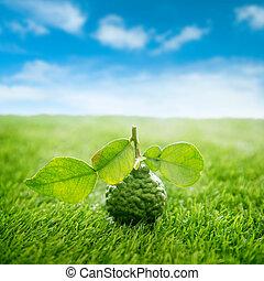 Lima de kaffir orgánica en césped verde con cielo azul