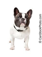 Lindo bulldog francés