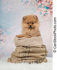 Lindo cachorro pomeraniano en una bolsa en un fondo romántico
