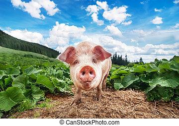 Lindo cerdo pastando en el prado de verano en pasturas montañas