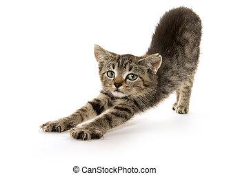 lindo, extensión, atigrado, gatito