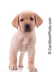 lindo, labrador, plano de fondo, blanco, perro cobrador