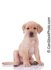 lindo, labrador, plano de fondo, sentado, blanco, perro cobrador