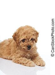 Lindo perrito caniche
