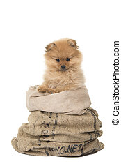 Lindo perrito pomereniano en una bolsa en un fondo aislado