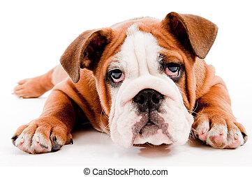 lindo, perro