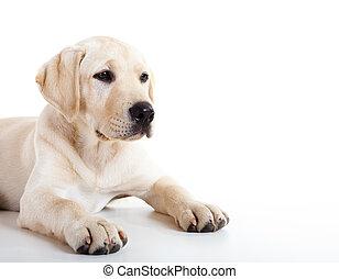 Lindo perro labrador