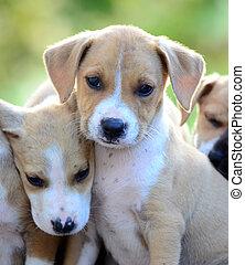 Lindos cachorros de amstaff
