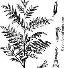 Liquorice o Glycyrrhiza glabra grabado vintage