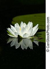 lirio, calma, almohadilla, reflexión, blanco, flor silvestre, agua