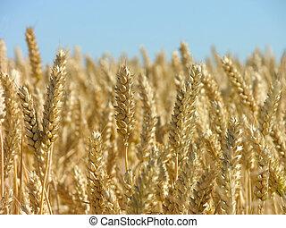 listo, maíz, cosecha