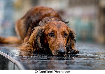 lluvia, dachshund, paciente, esperar