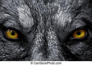 lobo, ojos