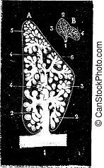 Lobule pulmonar, grabado antiguo.