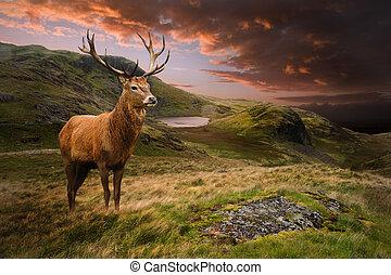 Los ciervos rojos estan de humor dramático paisaje de montaña