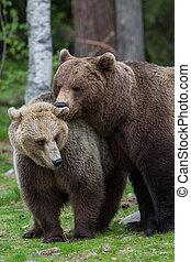 Los osos marrones aman en el bosque de Tiaga