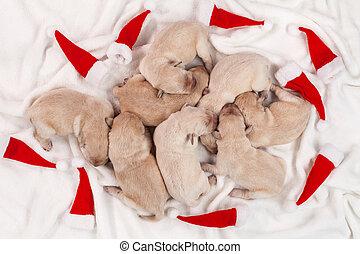 Los recién nacidos cachorros labradores duermen con pequeños sombreros de Navidad