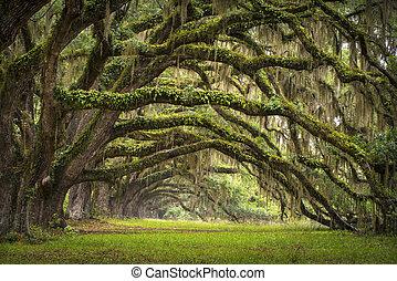 lowcountry, as, paisaje, roble, árboles, plantación, vivo, bosque, sc, charleston, robles, avenida, palangana, carolina del sur