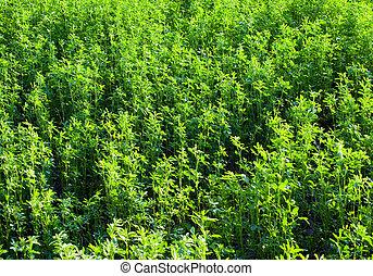 Lucerne (alfalfa) antecedentes.