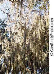 Luz a través del musgo español en los árboles
