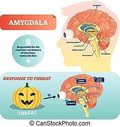 médico, vector, amygdala, rotulado, esquema, respuesta, threat., ilustración
