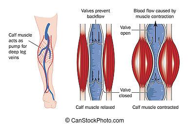 músculo calf, bomba