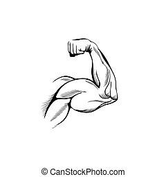 músculos, brazo