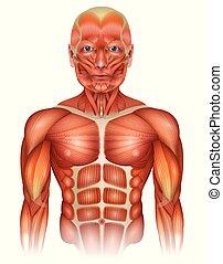 Músculos del cuerpo superior humano
