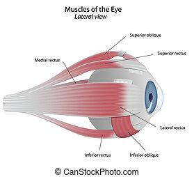 Músculos del ojo, Eps8