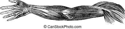 músculos, mano, vendimia, ilustración, humano, tendones, grabado, brazo