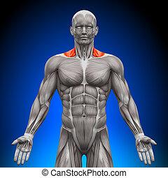 músculos, nech, -, /, trapezius, frente