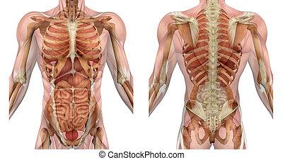músculos, torso, espalda, frente, macho, órganos