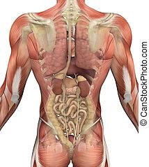 músculos, torso, -, espalda, macho, órganos, vista