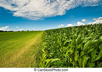 Maíz en la granja en verano