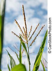maíz, hojas, verde azul, borla, (maize), polen, contra, planta, cielo
