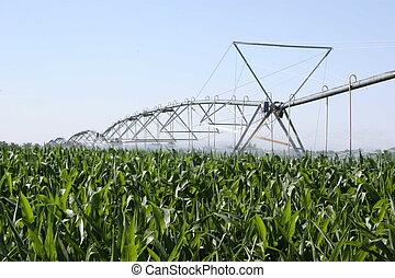Maíz irrigado