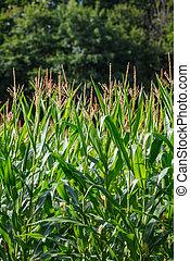 maíz, orgánico, hojas, verde, (maize), plantas, pequeño, granja, exuberante, campo, borlas