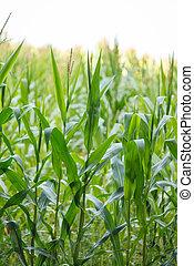 maíz, orgánico, hojas, verde, (maize), plantas, pequeño, granja, joven, campo, agricultura