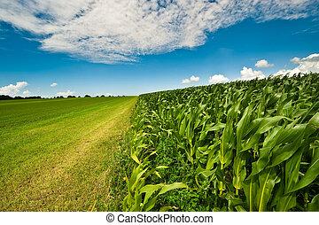 maíz, verano, tierras labrantío