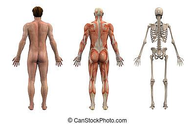 macho, anatómico, overlays, -, adulto