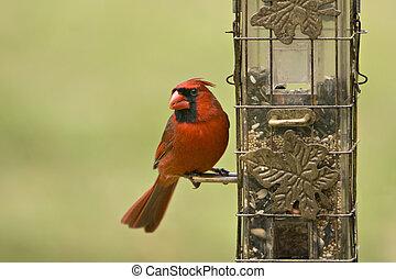 macho, cardinal, alimentador