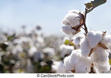 maduro, rama, cápsulas algodón