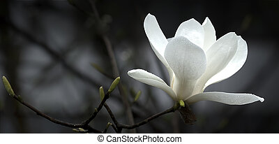 magnolia, flor
