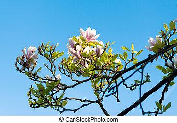 Magnolia florece en primavera contra un cielo azul