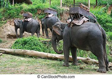 mai, apuntar, elefantes, chiang, tailandia