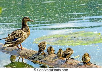 mallard, descendencia, pato