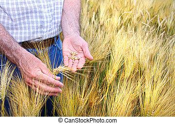Manos con granos de trigo