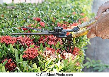 Manos con tijeras de jardín cortando un seto en el jardín