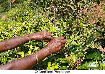 Manos de una mujer que recoge té en la plantación en las tierras altas centrales de Sri Lanka. Cosecha, agricultura, concepto de negocio local.